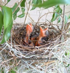 s_Baby Cardinals in nest_2 up 1 down