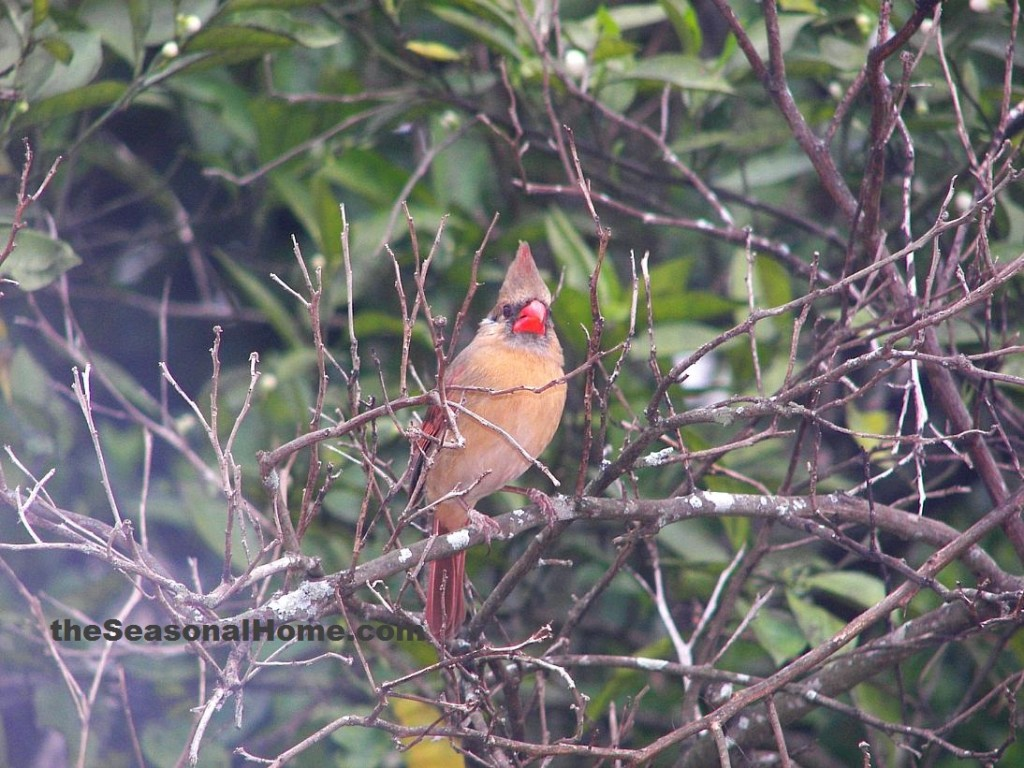 s_Mama Cardinal in Orange Tree2